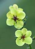Verbascum blattaria moth mullein Stock Photography