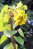 Verbascum bombyciferum Polar Summer Stock Photos