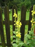 Verbascum densiflorum. To like medicinal plant and free bloomer Stock Photo