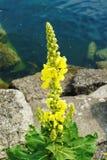Verbascum densiflorum, denseflower mullein, denseflowered mullein. On see background stock image