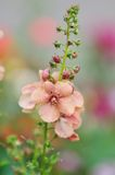 Verbascum Jackie Stock Photography