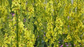 Verbascum plant in yellow. Verbascum plant is blooming in yellow stock video