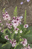 Verbascum - Southern Charm Stock Images