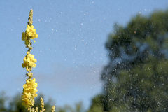Verbascum thapsiforme. Mullein and water drops from watering machine Royalty Free Stock Images