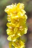 Verbascumdensiflorum Royalty-vrije Stock Afbeelding