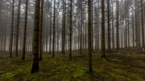 Verbazend beeld van lange pijnboombomen in het bos met mos ter plaatse in het bos royalty-vrije stock afbeeldingen