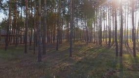 Verbazend bos dichtbij samenstelling Ochtend in het pijnboombos die van de hommel schieten stock videobeelden