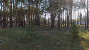 Verbazend bos dichtbij samenstelling Ochtend in het pijnboombos die van de hommel schieten stock video