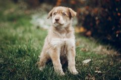 Verbazend bruin puppy met verbazende blauwe ogen op achtergrond van autu stock afbeeldingen
