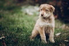 Verbazend bruin puppy met verbazende blauwe ogen op achtergrond van autu royalty-vrije stock foto's
