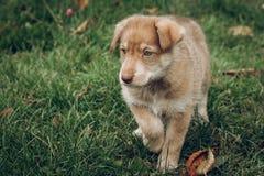 Verbazend bruin puppy met verbazende blauwe ogen op achtergrond van autu stock fotografie