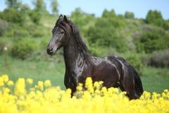 Verbazend friesian paard die op koolzaadgebied lopen Royalty-vrije Stock Afbeeldingen