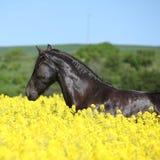Verbazend friesian paard die op koolzaadgebied lopen Royalty-vrije Stock Fotografie