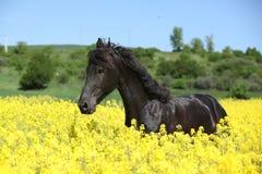 Verbazend friesian paard die op koolzaadgebied lopen Royalty-vrije Stock Foto's