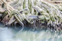 Verbazend glashelder smaragdgroen kanaal met mangrove bosthapom Stock Foto