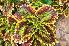 Verbazend kleurrijk blad binnen roi-et stad Royalty-vrije Stock Fotografie