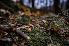 Verbazend kleurrijk kunst dicht omhoog beeld van eikels in het groene mos in wilde aard stock fotografie