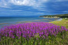 Verbazend kustwilgeroosje, Newfoundland Royalty-vrije Stock Afbeeldingen
