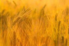 Verbazend magisch gouden zonlicht op gebied van tarwe De slingering van het tarwegewas royalty-vrije stock afbeelding
