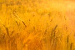 Verbazend magisch gouden zonlicht op gebied van tarwe De slingering van het tarwegewas stock foto