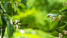 Verbazende de lente bloemenachtergrond, jasmijn witte bloemen Stock Fotografie