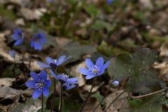 Verbazende macrofoto van scilla blauwe bloemen en droge bladeren rond stock afbeeldingen