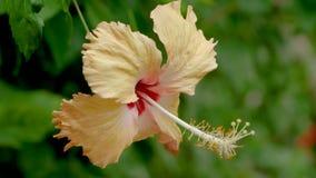 Verbazende mooie hibiscusrosa sinensisbloem tijdens bloesem dicht omhoog stock videobeelden