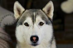 Verbazende ogen schor hond Stock Fotografie