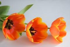 Verbazende oranje tulpen in het zonlicht op witte achtergronden stock fotografie