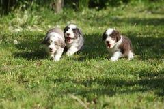 Verbazende puppy van Gebaarde Collie Stock Afbeeldingen