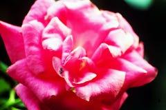 Verbazende Rose Flower in tuin royalty-vrije stock afbeelding