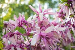 Verbazende Roze Magnolia op een de lentedag Bloeiende Magnoliabloemen en overweldigende knoppen in de lente De warme kleuren van  royalty-vrije stock afbeeldingen