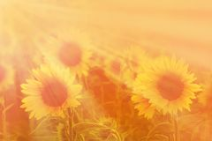 Verbazende schoonheid van zonlicht op zonnebloembloemblaadjes Mooie mening o royalty-vrije stock foto's