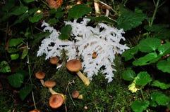 Verbazende wilde paddestoel, gelijkend op koraal Verscheidene eetbare paddestoelen (Armillaria) Stock Foto's