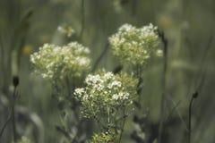 Verbazende witte bloemenbloesem op gebied Stock Afbeelding