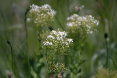 Verbazende witte bloemenbloesem op het gebied Stock Foto's