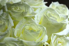 Verbazende witte die rozen in regendaling worden behandeld Royalty-vrije Stock Afbeeldingen