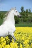 Verbazende witte lipizzaner die in de lente steigeren Royalty-vrije Stock Fotografie