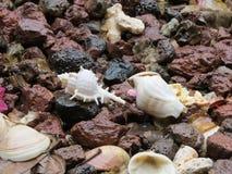Verbazende zeeschelpensamenstelling Stock Afbeelding