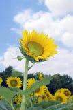 Verbazende zonnebloem Stock Foto's