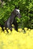 Verbazende zwarte Nederlandse warmblood met gele bloemen Stock Afbeeldingen