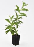 Verbena λεμονιών φρέσκα φύλλα φυτού Στοκ εικόνες με δικαίωμα ελεύθερης χρήσης