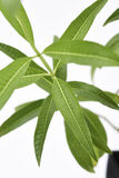 Verbena λεμονιών φρέσκα φύλλα φυτού Στοκ Φωτογραφίες