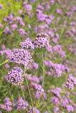 Verbena λουλούδι Στοκ εικόνες με δικαίωμα ελεύθερης χρήσης