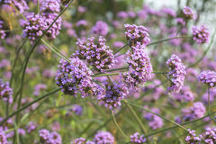 Verbena λουλούδι Στοκ φωτογραφίες με δικαίωμα ελεύθερης χρήσης
