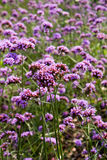 Lavender and verbena flowers Stock Images