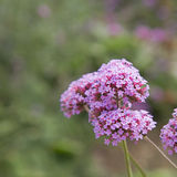Verbena bonariensis. (Purpletop Vervain, Tall Verbena, Clustertop Royalty Free Stock Photos