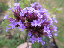 Verbena Bonariensis Close-Up Stock Photography