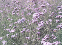 Verbena bonariensis flowers field Royalty Free Stock Photo