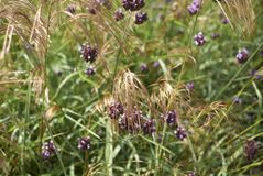 Verbena bonariensis flowers and miscanthus nepalensis stock photography
